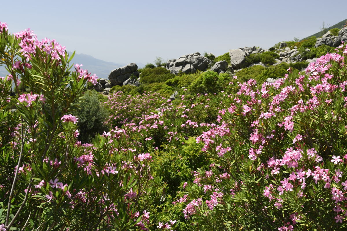 pink flowers on hike near Chefchaouen